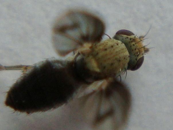 Trixoscelis obscurella