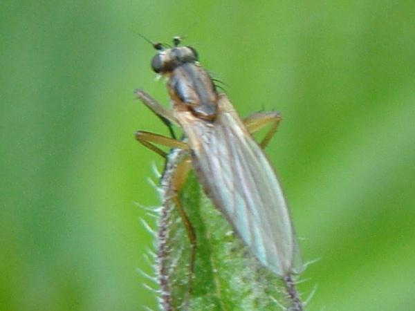 Lonchoptera lutea