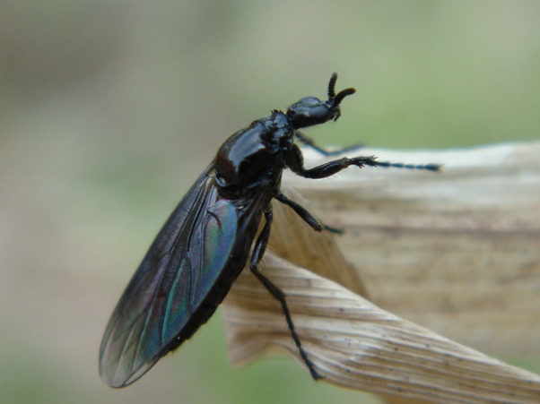 Dilophus febrilis(f)