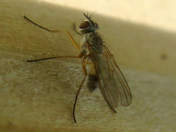 Coenosia cf. testacea (m)