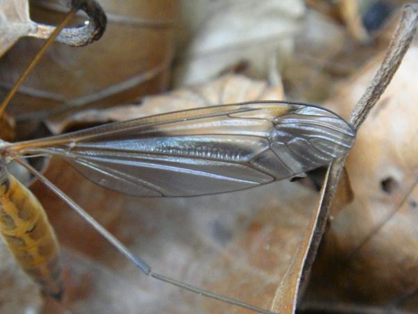 Tipula flavolineata