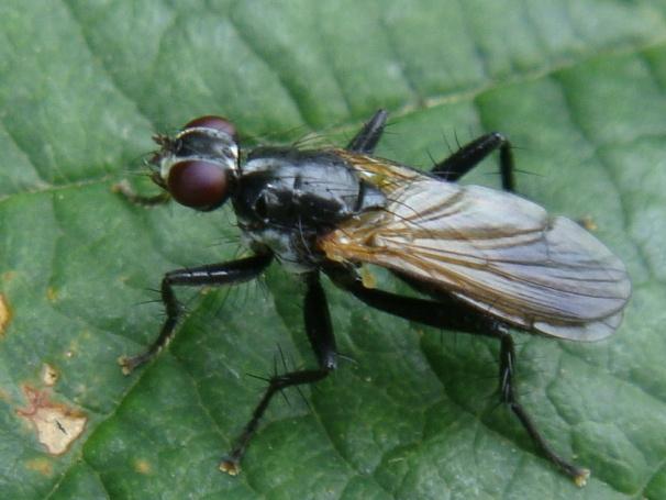Cordilura ciliatus