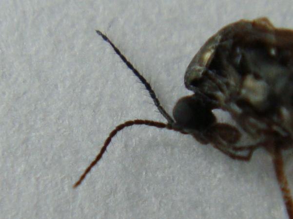 Ptychoptera minuta