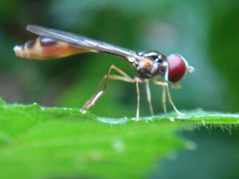 Baccha elongata Vliegende Speld