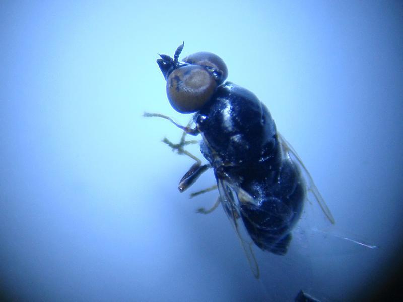 Nemotelus nigrinus