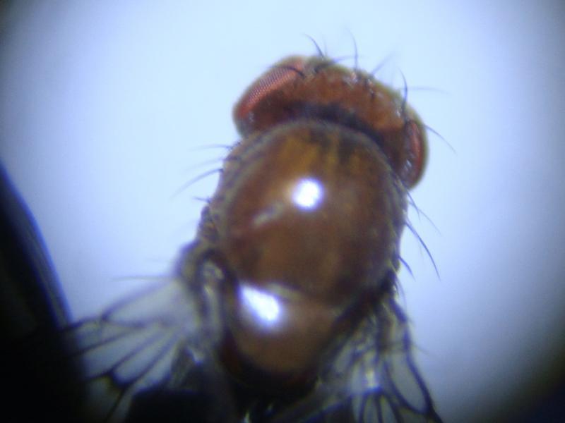 Drosophila littoralis