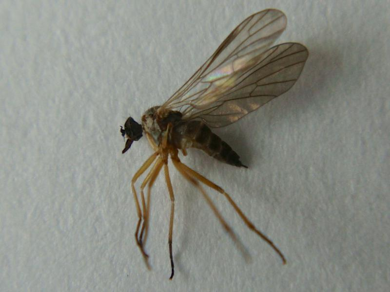 Hilara flavipes