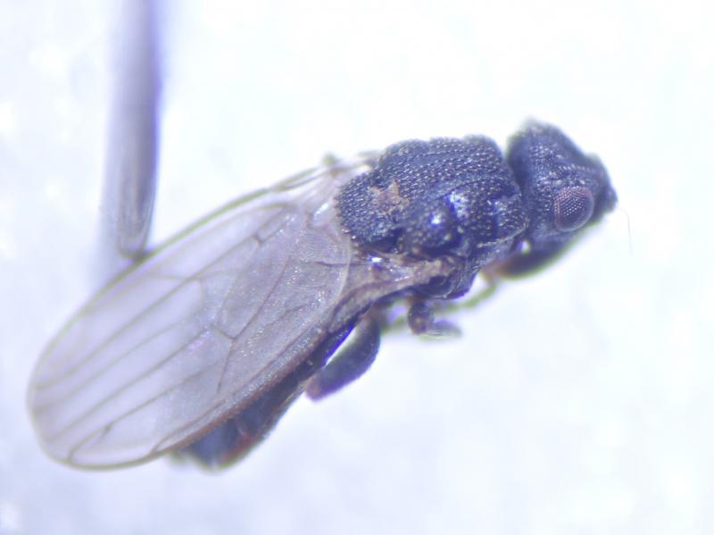Ischiolepta micropyga