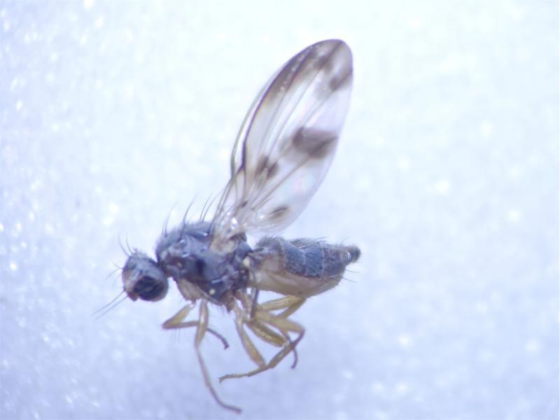 Palloptera umbellatarum