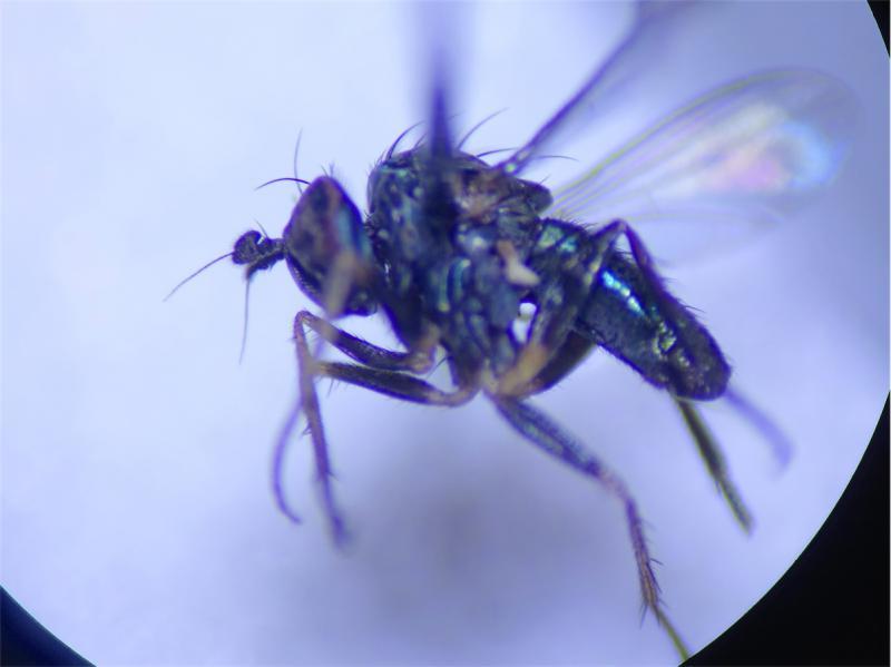 Chrysotis pulchellus