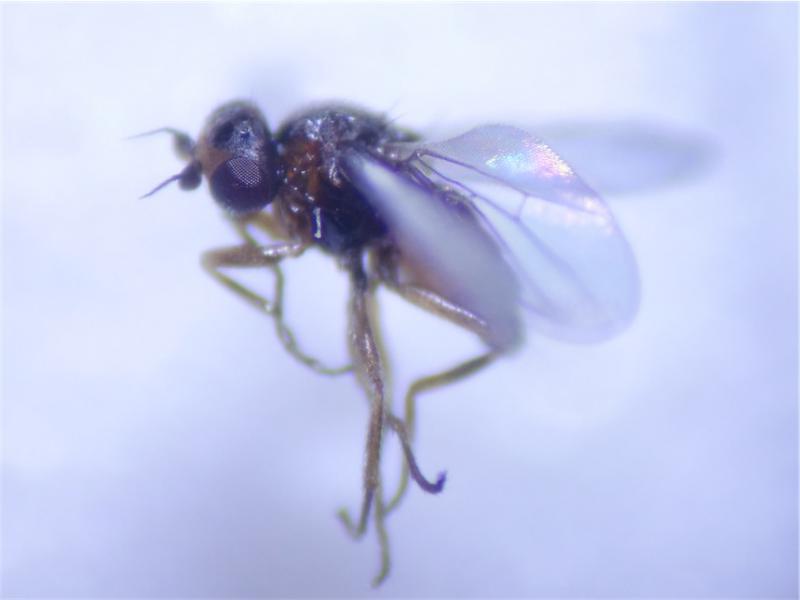 Oscinimorpha minutissima