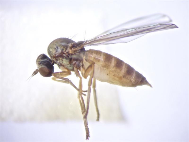 Agathomyia unicolor