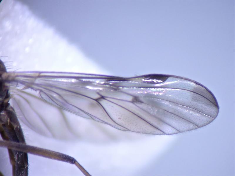 Sylvicola cinctus