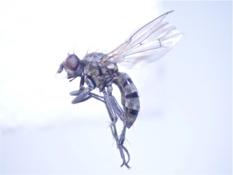 Schoenomyza litorella(f)