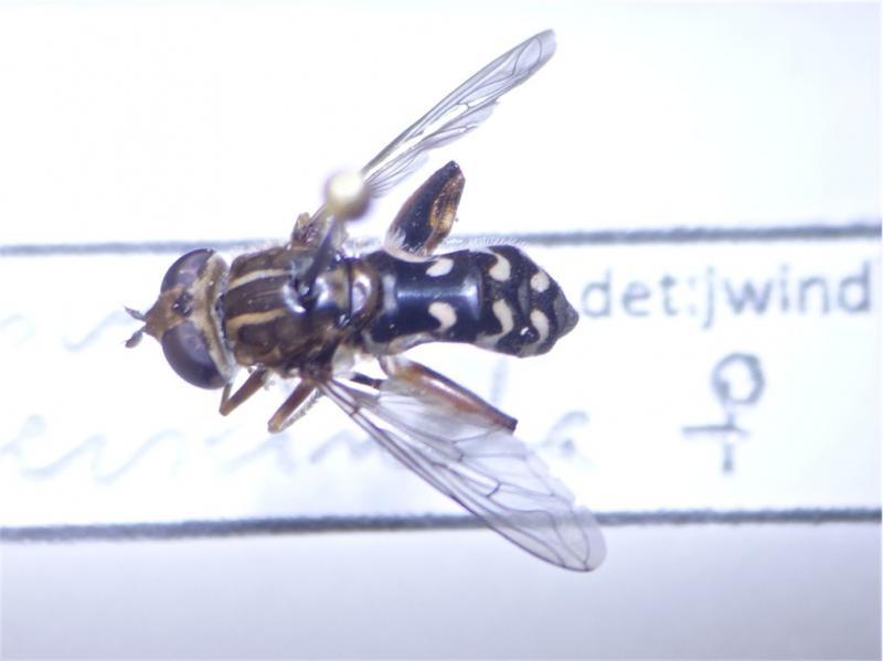 Anasimyia contracta Ingesnoerde Waterzweefvlieg(f)
