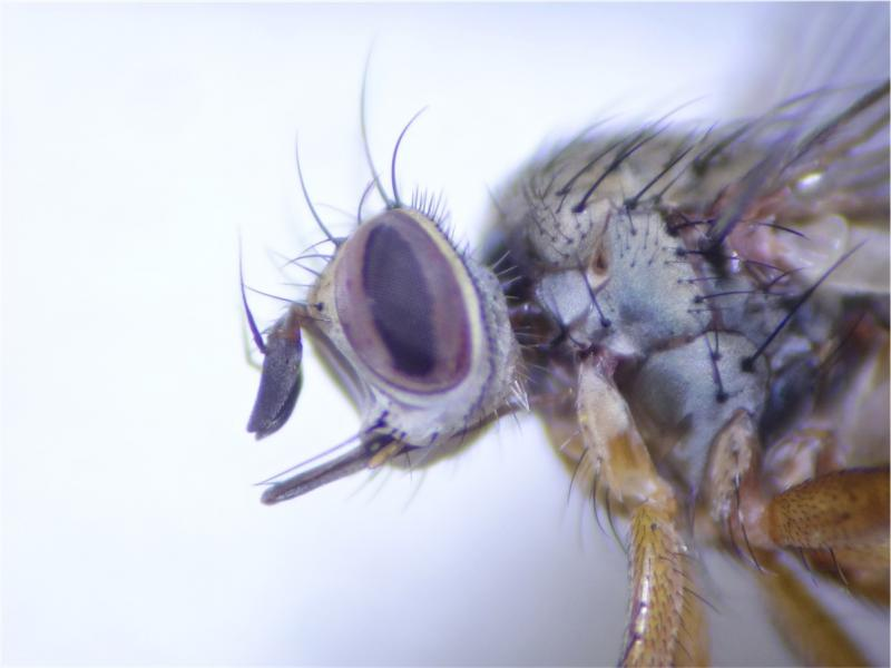 Siphona cristata