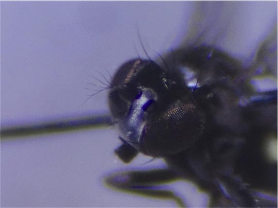 Hydrellia albilabris