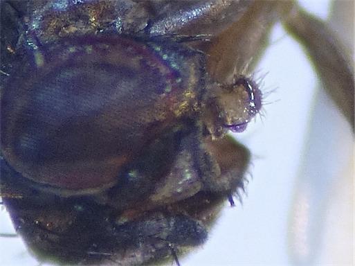 Drosophila ambigua