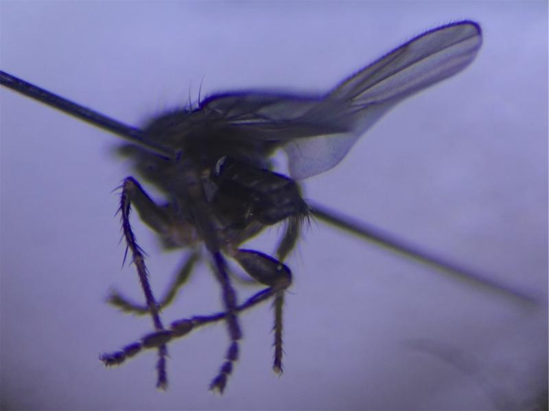 Thoracochaeta zosterae