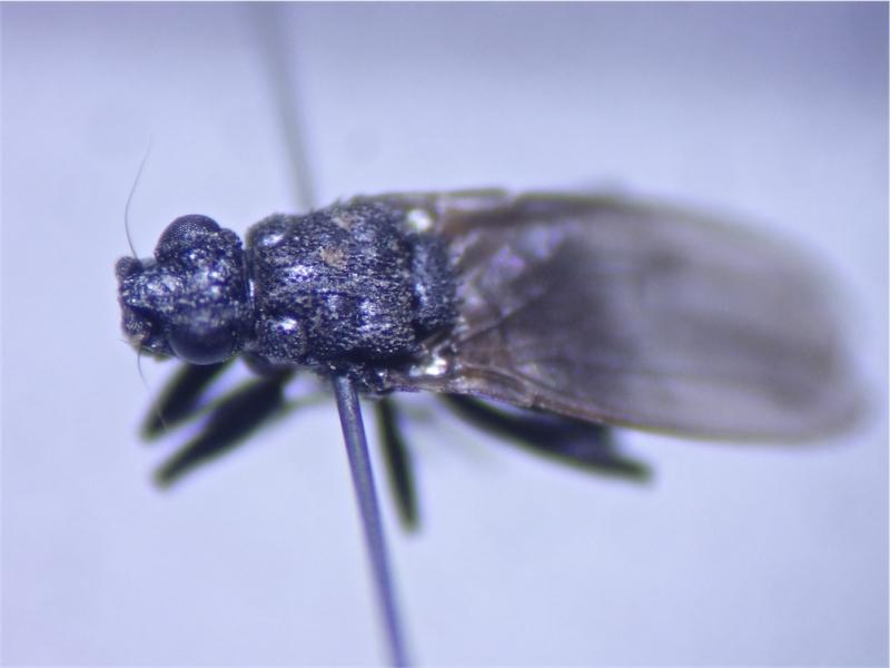 Ischiolepta pussila
