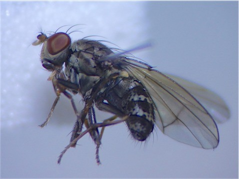 Notophila riparia