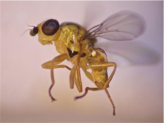 Chlorops limbatus