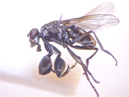 Ochthera mantis