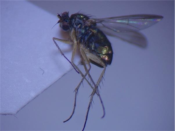 Dolichopus calinotus(m)