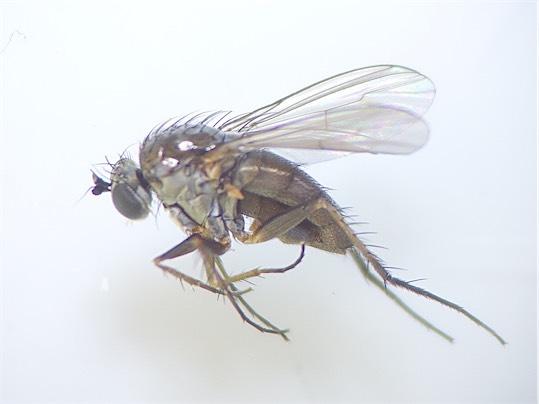 Dolichopus signifer