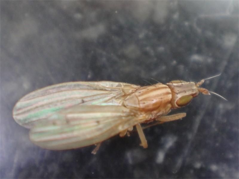 Trigonometopus frontalis