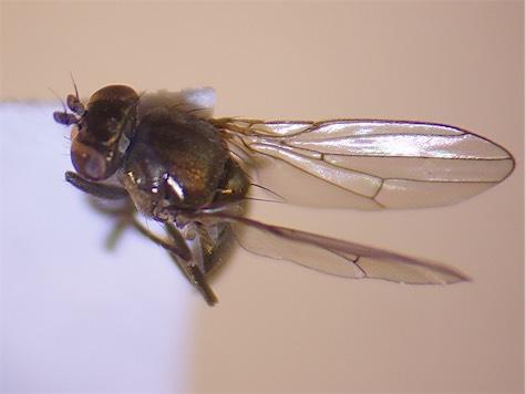 Pelina similis