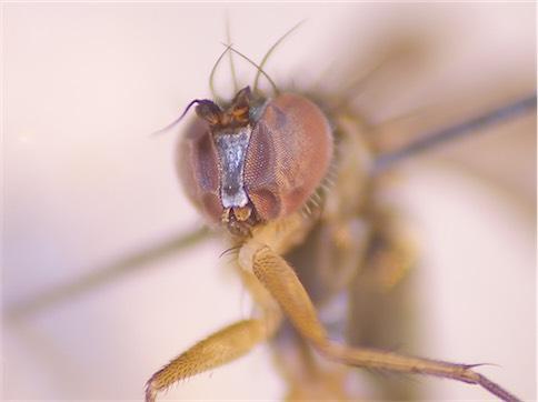 Dolichopus sabinus(m)