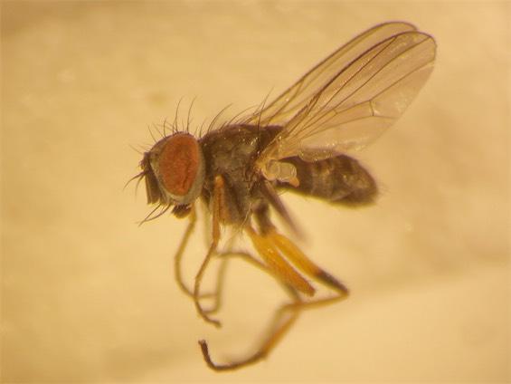 Coenosia antennata