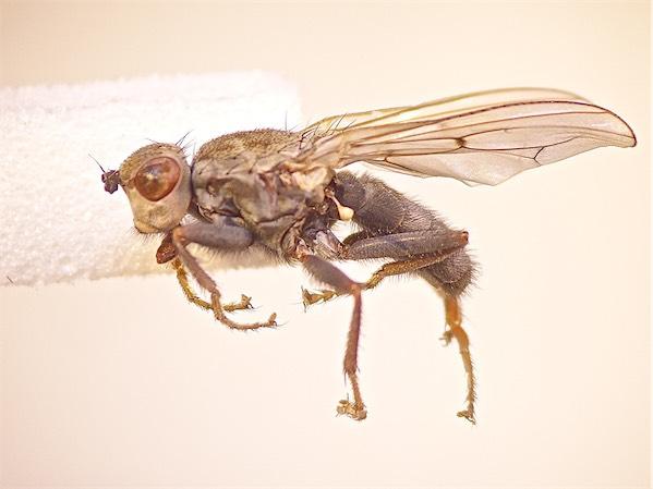 Helcomyza ustulata Brandingsvlieg