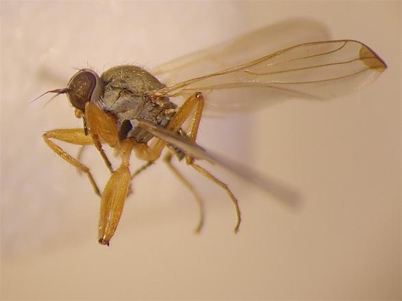 Platypalpus praecinctus