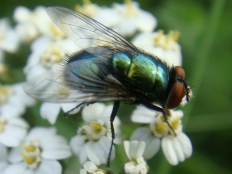Lucillia sp. Soort Groene Vleesvlieg