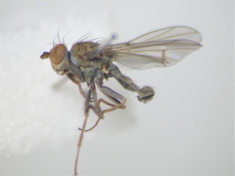 Notophila cinerea