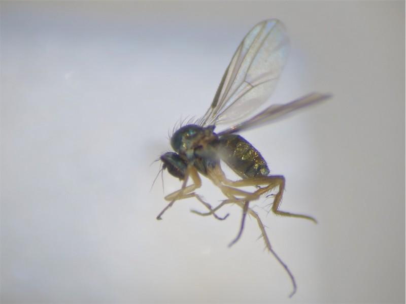 Teuchophorus nigricosta