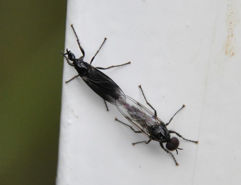 Dilophus febrilis(m+f)