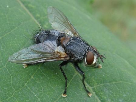 Blepharipa pratensis(m)