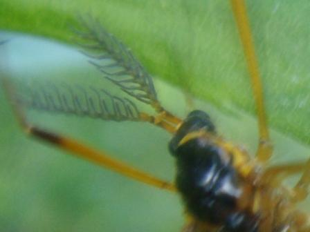 Tanyptera atrata Houtlangpootmug(m)