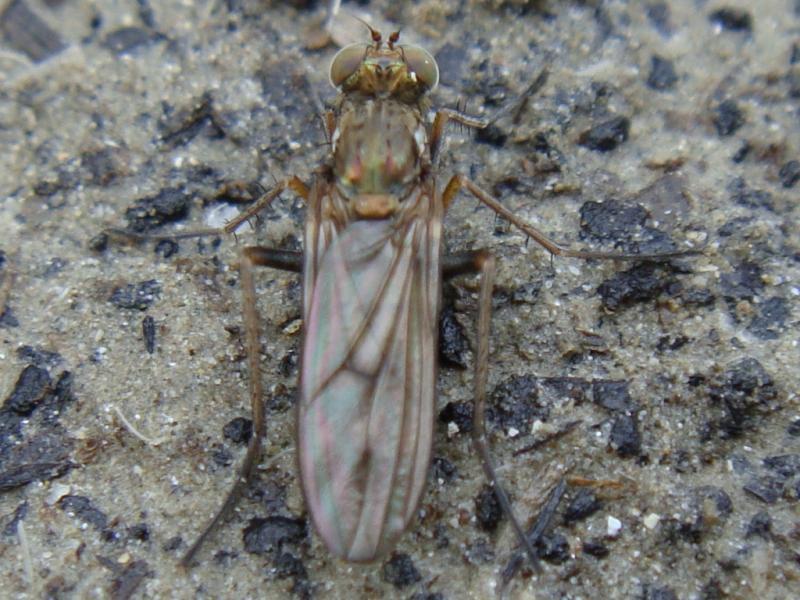 Thinophilus flavipalpus (f)