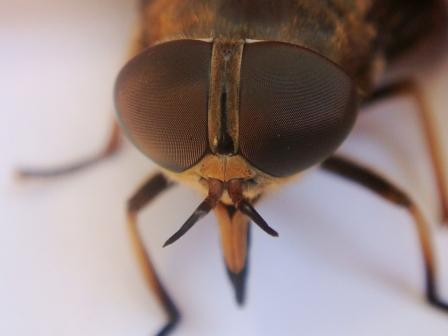 Tabanus sudeticus Paardendaas