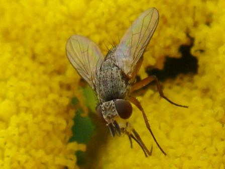 Siphona spec.