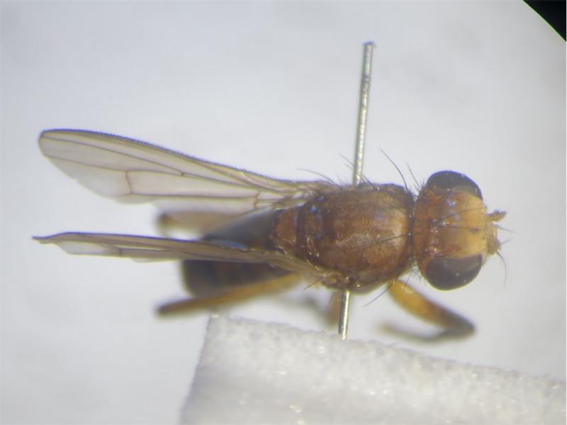 Sciomyza dryomyzina