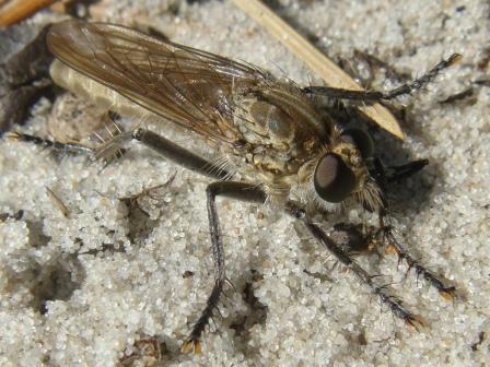 Philonicus albiceps Zandroofvlieg(f)