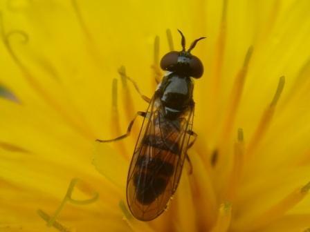 Pelecocera tricincta Bijlsprietje(f)