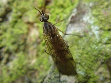 Sylvicola punctatus Soort Venstermug