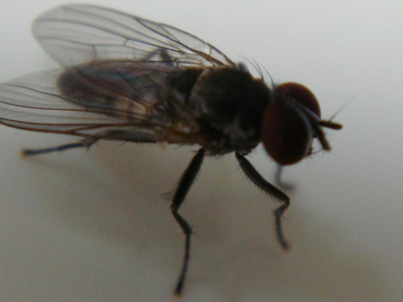 Fannia canicularis Kleine Huisvlieg