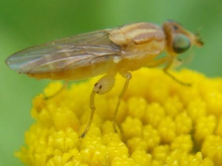 Meromyza spec.
